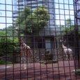 都会のキリン(上野動物園)