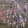 Ts3b0364 花もも